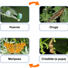 Ciclo de vida de la mariposa for the smart board by Gynzy Interactive Whiteboard Software